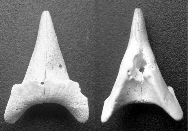 [résolu]Belosaepia sepioidea (de Blainville, 1825) Dam-lut-16mm-b496df