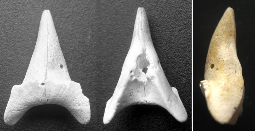 [résolu]Belosaepia sepioidea (de Blainville, 1825) Dam-lut-16mm-b6ce41